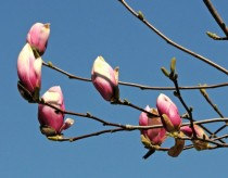 early magnolia